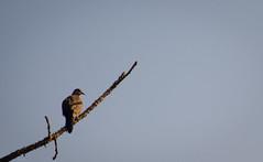 Spotted dove ([s e l v i n]) Tags: blue india reflection bird birds branch dove bombay mumbai spotteddove birdphotography bhandup selvin bhanduppumpstation