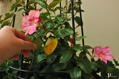Mandevilla with Diseased Leaf