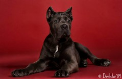Savannah (Devilstar) Tags: old red dog cute cane puppy studio three italian mastiff corso backdrop months savanna sacrum