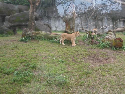 你拍攝的 10母獅子。