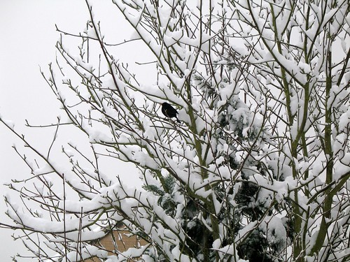 A poor blackbird in the snow