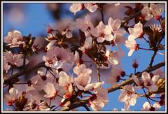 Spring (Mihai Petre) Tags: flowers blue naturaleza flores primavera nature azul photography spring sony fresh fresco fotografo rivasvaciamadrid alpha200 thebestcorner mihaipetre