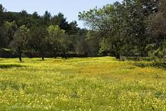 Camp eivissenc florit (esteperol) Tags: flowers camp flores flors canoneos450d