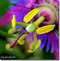 Extended (ShacklefordPhotoArt) Tags: flower macro home florida bloom photoart boyntonbeach naturesfinest wonderfulworldofmacro shacklefordphotoartcom artistoftheyearlevel4 shacklefordphotoart donnieshackleford