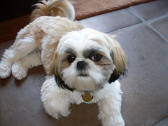 Paco, Shih Tzu Dog (gurdonark) Tags: arizona dog tucson shih tzu paco
