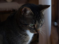 A Penny for Your Thoughts (Tabby Fan) Tags: catnipaddicts