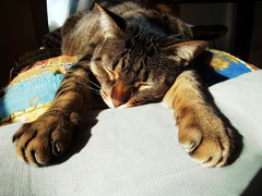 All The New Energy Spring Brings... (Coquine!) Tags: cat tommy sleepy gato müde katze relaxed kater exhausted frühjahrsmüdigkeit christianleyk