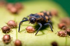 Ladybug Larvae (Sharon_S) Tags: macro nature trinidad ladybug soe larvae watcher aphids potofgold macroextreme specinsect macrolife excapturemacro notyournormalbug platinumbestshot extremeaward insectsbugsbutterfliesoftrinidadandtobago photosofinsectsoftrinidadandtobago