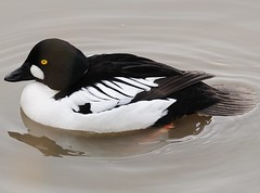 Male Goldeneye (earlyalan90 away awhile) Tags: anatidae bucephalaclangula supershot abigfave platinumphoto avianexcellence goldstaraward vosplusbellesphotos goldeneyemale