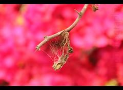 Suggestions for an interesting title welcome :-) (ManishJaju) Tags: red brown india net branch dof mesh bokeh spiderweb cobweb twig maze canondslr newdelhi redbackground sigma18200mm canoneos450d canonrebelxsi manishjaju manishjajugmailcom