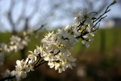 Spring III (dididumm) Tags: tree sunshine germany spring unidentifiedplant unknown blte baum frhling sonnenschein inbloom unbekannt otherstuff