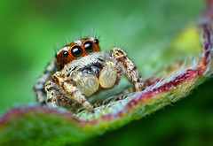 Sub-Adult Male Jumping spider - (Habronattus mataxus) (Thomas Shahan) Tags: macro male slr k vintage bug hair lens island 50mm prime spider jumping eyes texas close pentax zoom arachnid flash small tubes swollen extension 1970s reversed christi dslr corpus smc padre vivitar softbox diffuser opo entomology arachnology transluscent macrophotography bayonet salticid subadult palps f17 salticidae chelicerae thyristor habronattus terser k200d justpentax opoterser mataxus