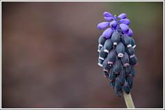 Nazareno (miguelangelortega) Tags: flores macro azul nikon sigma105 d90 ltytr1