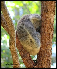 tired koala (Asti21) Tags: nature animal olympus koala poo tarongazoo e510 sotired australiannativeanimal bokehlights asti21 imnotsurewherethese2000viewsorpplcamefrom astiitsupto10260now