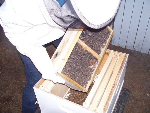 waldie dumping the bees into the hive