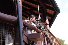 Kiss (Albert Yi-Jian Tsai) Tags: kenya nairobi masaigiraffe giraffecenter 肯亞 奈洛比