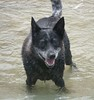 Jack (eserehtM) Tags: dog beach water jack olympus e300 olympuse300 heeler blueheeler