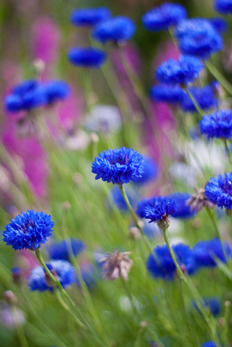 Cornflowers blowing in the wind