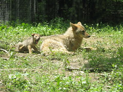 Coyote and pup (gsdlover73) Tags: coyote baby wv captivity gamefarm frenchcreek
