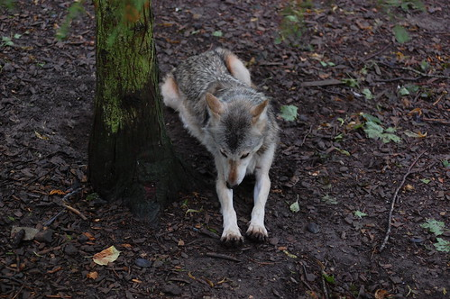 Timber Wolf - 3