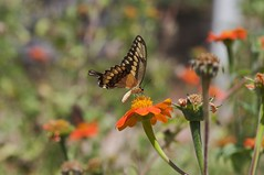 Butterfly (emeraldcitycreative) Tags: nature butterfly garden insect zinnia canon40d