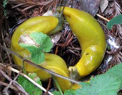 banana slug yin yang