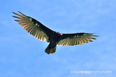 Turkey Vulture (Ralf Nowak) Tags: ontario canada bird nature birds animal fauna turkey john flying nikon flight sigma explore raptor crow vulture carrion buzzard aura birdofprey turkeyvulture urubu ptak birdinflight cathartesaura d300 cathartes ptaki grasslake carrioncrow turkeybuzzard sigmalens johncrow glenmorris brantcounty spnikrowogowy nikond300 uruburowowowy spnik rowowowy