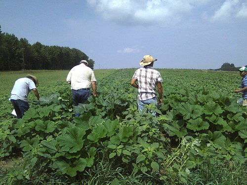 Campesinos harvesting summer squash