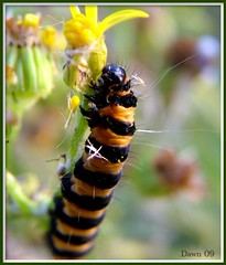 Cinnabar moth caterpillar (Church Mouse 07) Tags: uk autumn nature insect fuji wildlife september caterpillar finepix s7000 british soe cinnabarmoth aplusphoto flickrawards platinumheartaward buzznbugz macromarvels 100commentgroup churchmouse07 100commentset