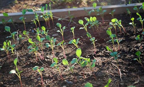flowering brassica 1
