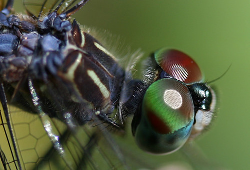 Colorful Dragonfly Macro