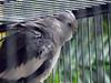 Tough Gray Bird (Reinalasol) Tags: flickr april panama 2009 april2009 panama2009 reinalasol
