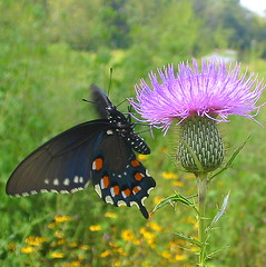pipevine 2 (livingglassart home of oddballs and oddities) Tags: nature butterfly tennessee wildlife september monday wildflower perryville bullthistle pipevineswallowtail decaturcounty