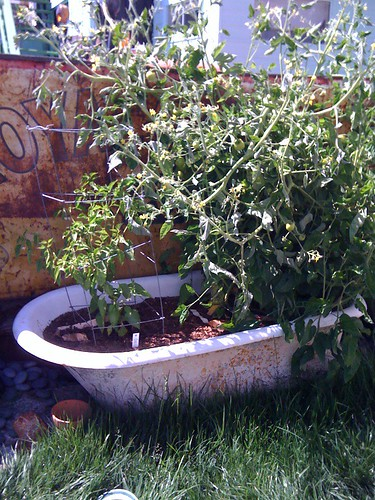 tomatoes in a bathtub