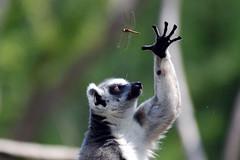 Ring tailed lemur (floridapfe) Tags: animal zoo monkey photo dragonflies korea ring lemur tailed everland ringtailedlemur platinumphoto anawesomeshot ultimateshot flickrdiamond theunforgettablepictures alemdagqualityonlyclub