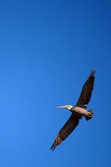 Soaring (rianklong) Tags: california ca blue island nationalpark pelican east brownpelican channelislands anacapa californiabrownpelican channelislandsnationalpark anacapaisland canonef70200mmf28lisusm eastanacapaisland canoneos5dmarkii canon5dmarkii