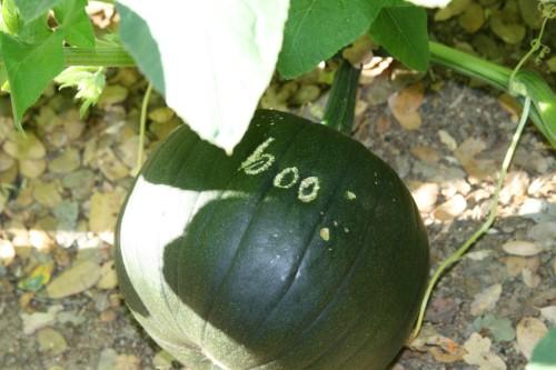 pumpkin2009 032 (500 x 333)