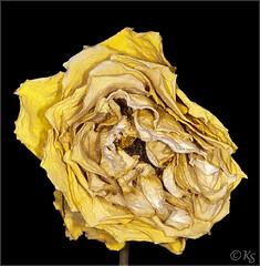 Beauty of Old Age III (Stefanie Kappel) Tags: flower rose yellow stef ringflash deadrose sigma105macro sonya900 metz15ms1 skme stefaniekappel newgoldenseal