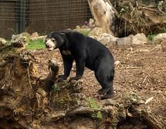 Malayan Sun Bear (Rick & Bart) Tags: bear beer zoo arnhem burgerszoo dierentuin smrgsbord malayansunbear animaladdiction maleisebeer honingbeer botg helarctosmalayanus rickbart thebestofday gnneniyisi rickvink malayaays