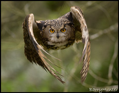 Owl-flying-towards-me (GeordieClio) Tags: 2 canon eos eagle flight 300mm 1d owl f4 mk specanimal naturesgreenpeace