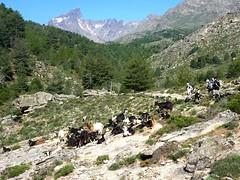 Troupeau de chèvres sous la Paglia Orba