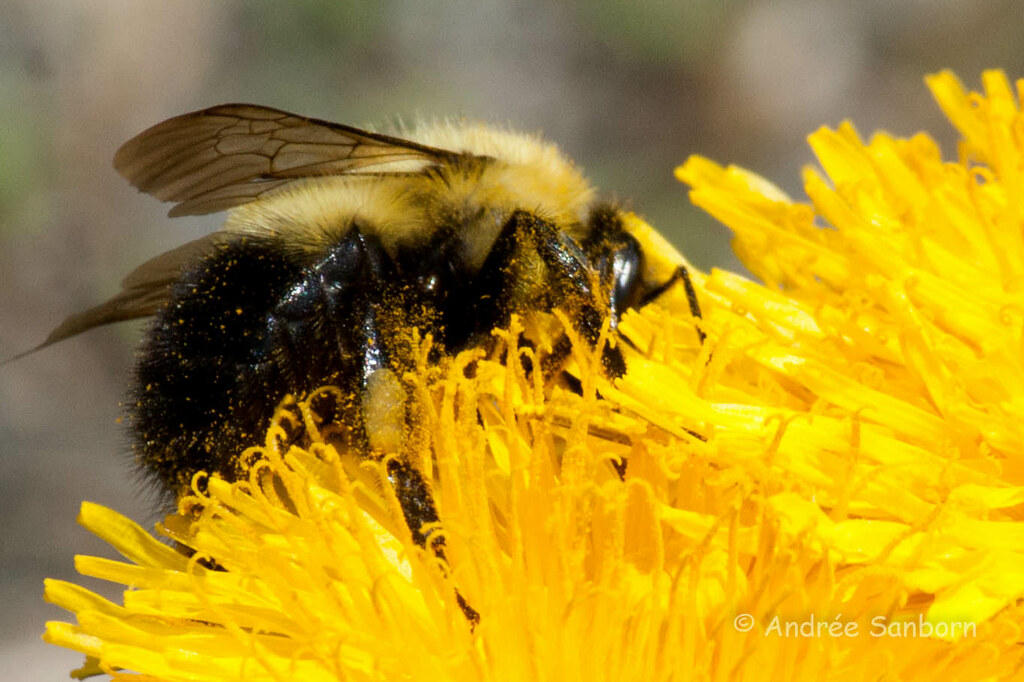 Bumblebee on Dandelion (Taraxacum officinale)-1.jpg