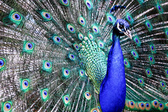 peacock (marin.tomic) Tags: blue color colour bird castle animal garden austria österreich europe feathers feather peacock unesco graz gettyimages eggenberg schlosseggenberg