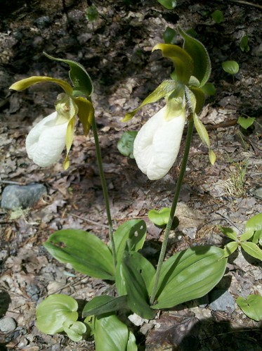 Lady slipper by drwhogrl