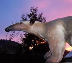 Anteater Sunset
