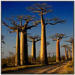 La Avenida de los Baobabs (bit ramone) Tags: pentax madagascar soe k20 baobab áfrica blueribbonwinner otw supershot justimagine abigfave platinumphoto flickrslegend thesecretlifeoftrees goldstaraward multimegashot rubyphotographer magicdonkeysbest bitramone ubej artofimages top20travelpix morondaba mdtbmasterpiece bestcapturesaoi —obramaestra—