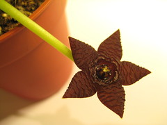 Stapelia similis (Auctus) Tags: brown flower succulent stapelia similis asclepiad stapeliad aesclepiad