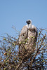 vulture sits on the top of the acacia tree