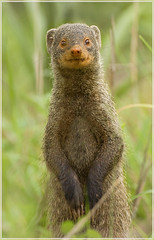 Ratty thing (hvhe1) Tags: africa nature animal southafrica searchthebest wildlife safari mongoose ratty naturesfinest malamala dwarfmongoose specanimal hvhe1 hennievanheerden fantasticwildlife