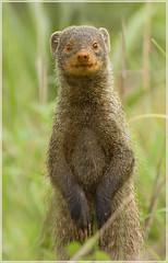 Ratty thing (hvhe1) Tags: africa nature animal southafrica searchthebest wildlife safari mongoose ratty naturesfinest malamala dwarfmongoose specanimal hvhe1 hennievanheerden fantasticwildlife